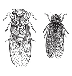 Cicada vintage engraving vector