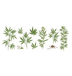 set different realistic green hemp with seeds vector image