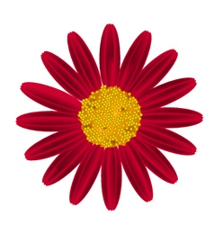 Red Daisy Flower on A White Background vector