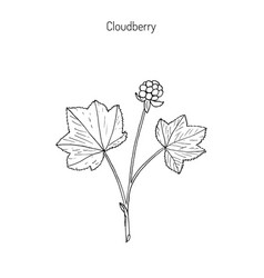 cloudberry wild berries collection vector image vector image