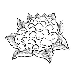 isolated cauliflower- hand drawn vector image