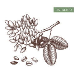 Pistachio hand drawn food drawing culinar vector