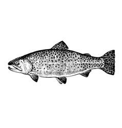 Rainbow trout fish vector