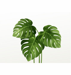 realistic bright green leaves monstera isolated vector image