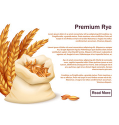 Realistic rye ears and grains isolated on white vector