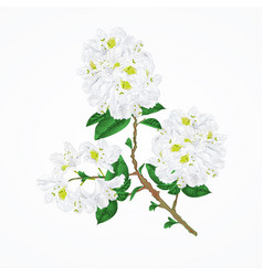 twig white rhododendron vintage vector image