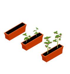 fresh cherry tomato seedling vector image