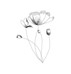 holland tulips on a white background hand drawn vector image