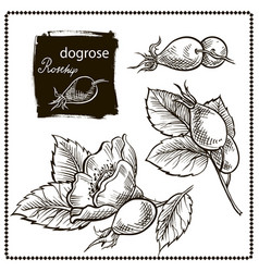 dog rose hand drawn vector image vector image