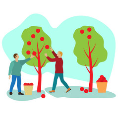 Apple harvest men collect ripe fruits vector