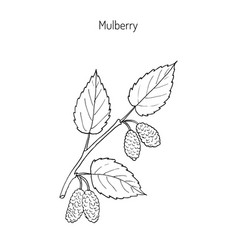 mulberry morus nigra or black mulberry or vector image
