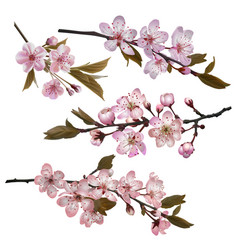 Sakura flowers background vector