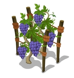 Planting and cultivation of grape vector image