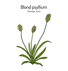 Blond plantain or psyllium plantago ovata vector