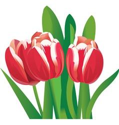 flower tulips vector image