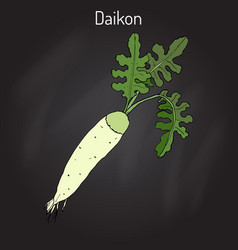 Daicon raphanus sativus or white radish vector