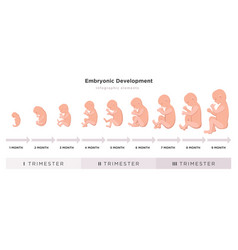 embryonic development month by month cycle from 1 vector image