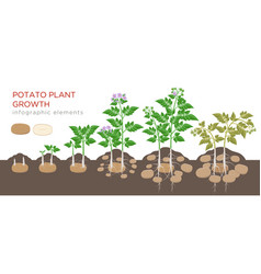 potatoes plant growing process from seed to ripe vector image