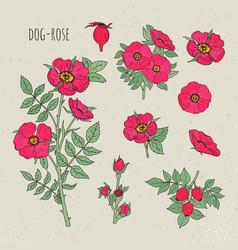 dog rose medical botanical isolated vector image