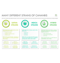 many different strains cannabis horizontal vector image
