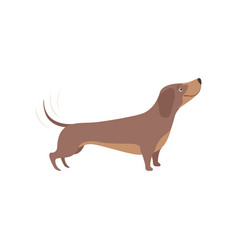purebred brown dachshund dog vector image