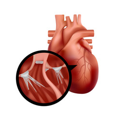 Realistic human heart with cross-section close-up vector