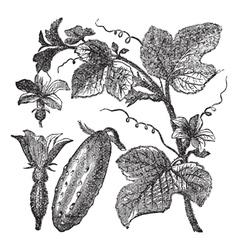 Cucumber vintage engraving vector image