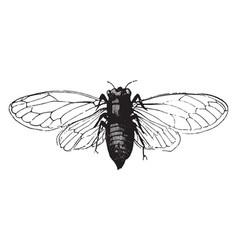 Cicada vintage vector