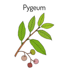 pygeum prunus africana medicinal plant vector image