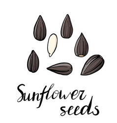 Drawing sunflower seeds vector