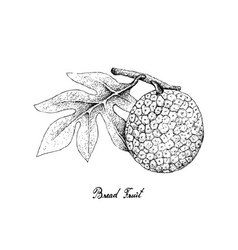Hand drawn of breadfruit on white background vector