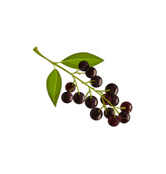 Black chokeberry icon branch of aronia vector