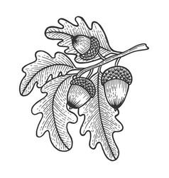 Oak branch with acorns sketch engraving vector