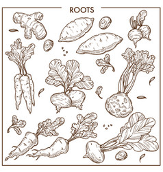 Root vegetables sketch icons fresh organic vector