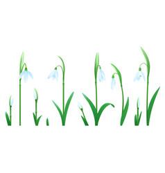 set snowdrop flowers vector image