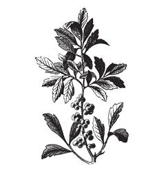 Wax Myrtle vintage engraving vector image