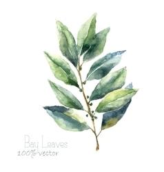 Watercolor bay leaf vector image vector image