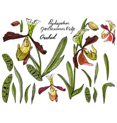 Isolated orchid paphiopedilum on white vector