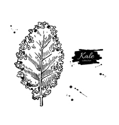 Kale hand drawn Vegetable engraved style vector image vector image