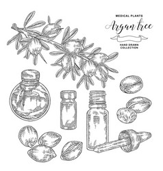 Argan tree argania spinosa branch with nuts and vector