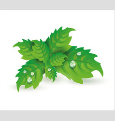 fresh mint leaves isolated on white vector image