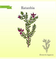Rhatany krameria lappacea medicinal plant vector