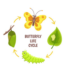 Butterfly life cycle insect emergence vector