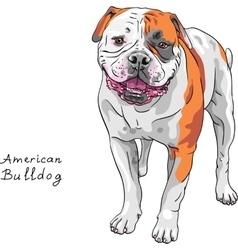 Sketch dog American Bulldog breed vector