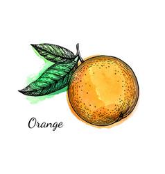 Ink sketch of orange on watercolor background vector