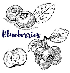 set of blueberries on white background design vector image