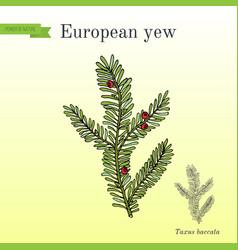 European yew taxus baccata poisonous plant vector