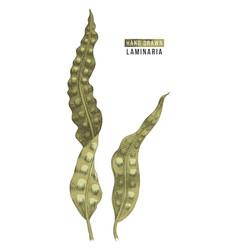 Hand drawn laminaria algae vector