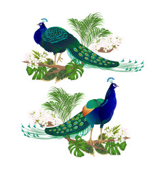 peacocks beauty exotic birds natural and tropical vector image