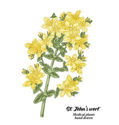 Hand drawn tutsan or saint johns wort isolated on vector